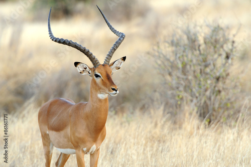 Stickers pour portes Antilope Impala in savanna