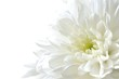 Leinwandbild Motiv 白色の菊 白背景