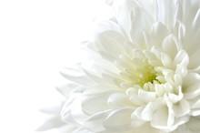 白色の菊 白背景