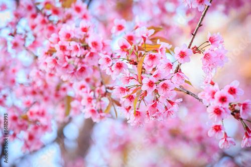 japonski-kwiat-wisni-na-wiosne