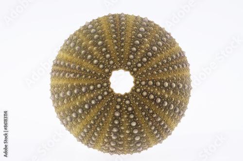 Fototapety, obrazy: isolated skeleton of sea shell green  echinoidea - macro