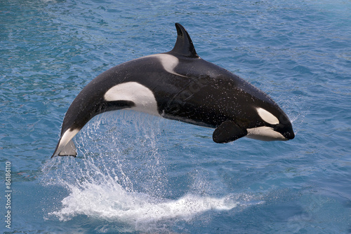 Fotografie, Obraz  Killer whale jumping out of water