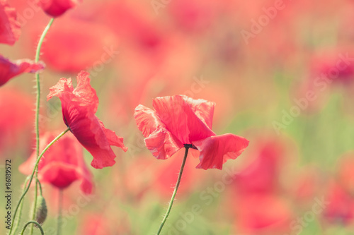 Aluminium Prints Bestsellers Poppy flowers retro peaceful summer background