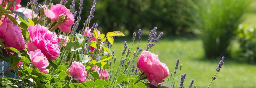 Fototapeta Rosenbeet im Garten - Bannerformat