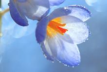 Snow Snowdrops Spring Flowers Blue