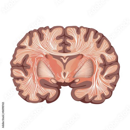 Brain Anatomy Brain Showing The Basal Ganglia And Thalamic Nuclei