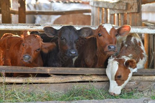 Canvas-taulu calf cows eat