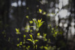 The first spring gentle leaves, buds and branches on bokeh background