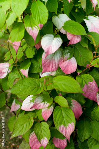 green and pink leaf actinidia Canvas Print