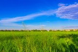 green rice field with clear blue sky