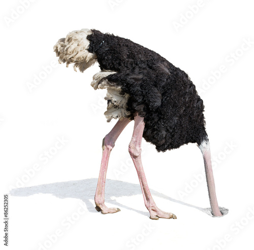 Photo sur Toile Autruche ostrich burying head in sand ignoring problems