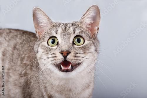 Canvas Print cat meows