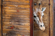 Rothschild Giraffe, Giraffa Camelopardalis Rothschildi, Head