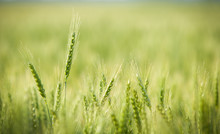 Green, Spring, Wheat Field Wit...