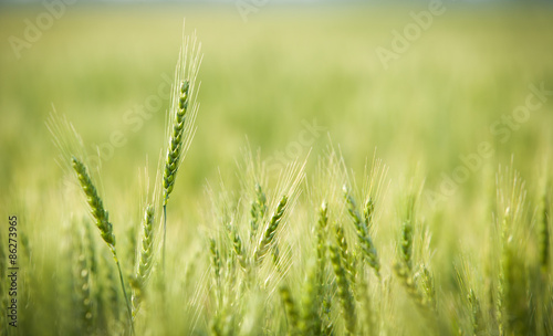 Poster Cultuur Green, Spring, Wheat Field with Soft Selective Focus