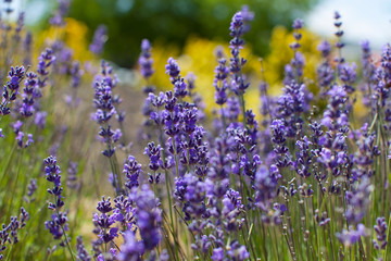 Fototapetaclose-up of lavender