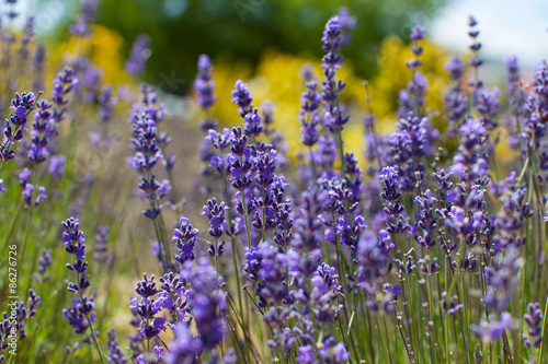 close-up of lavender - 86276726