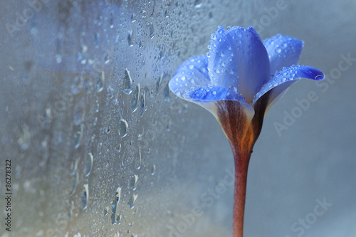 Fototapeta snow snowdrops spring flowers blue