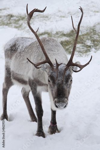 Fényképezés  reindeer in snow