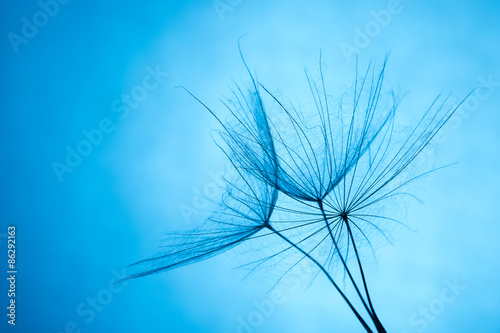 Spoed Foto op Canvas Natuur close up of dandelion on the blue background