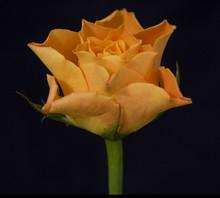 Orange Rose On A Black Background