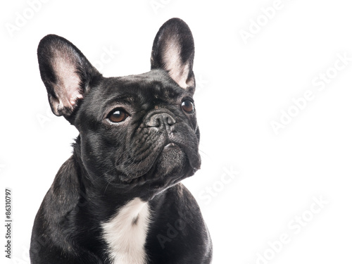 Portrait of a cute French Bulldog looking up at a white background