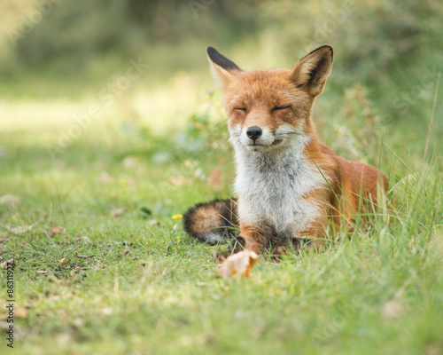Lazy fox relaxing in the grass