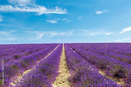 Foto op Aluminium Snoeien Blossoming lavender fields in Provence, France.