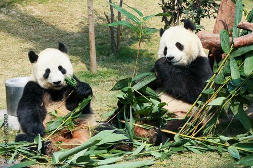 Stickers pour porte Panda Two pandas eating bamboo