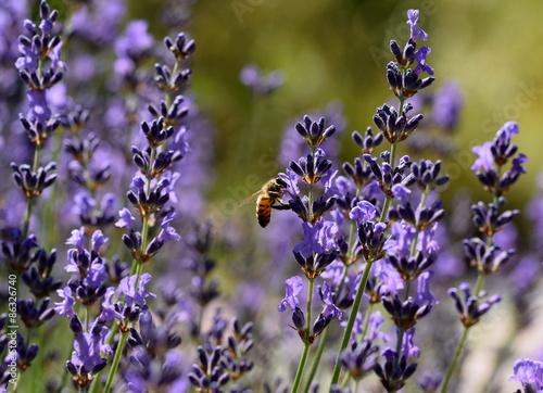 lawenda-z-pszczola