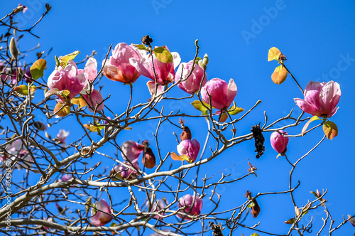 Photo  Tulip tree, japanese magnolia tree, saucer magnolia tree