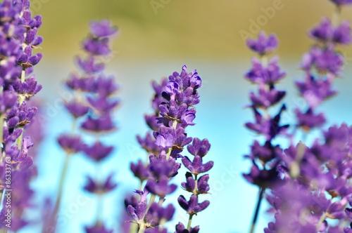 Cadres-photo bureau Lavande lavender