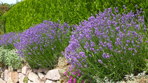 Photo Stands Lavender lavande en bordure de haie
