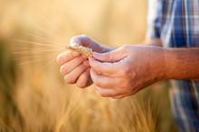 Hands Of Male Farmer Checking Grain