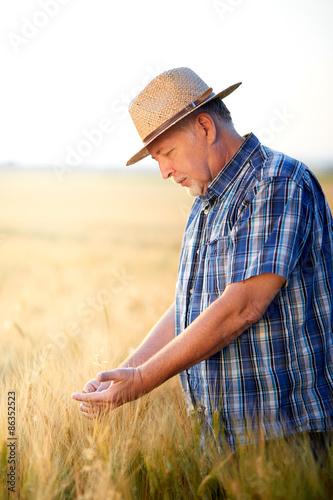 Fotografie, Obraz  Senior farmer checks wheat grain in summer field