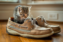 Kitten In The Shoes