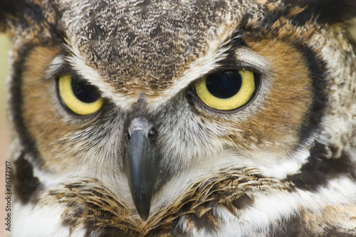 Staande foto Uil Great Horned Owl
