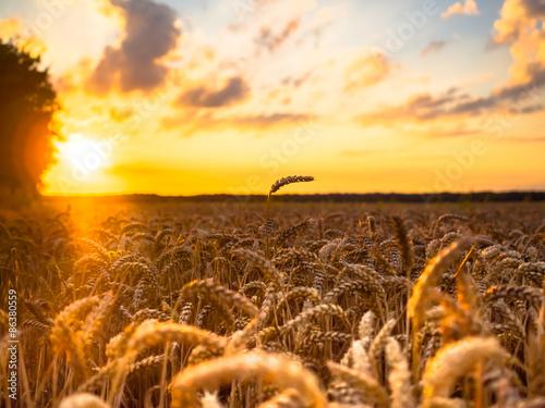 Fotografie, Obraz  Weizenfeld im Sonnenuntergang