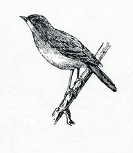 Thrush Nightingale (Luscinia Luscinia)