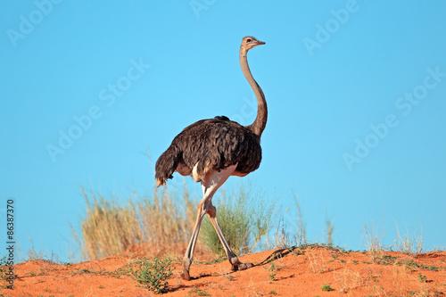 Staande foto Struisvogel Female Ostrich (Struthio camelus) on red sand dune, Kalahari desert, South Africa