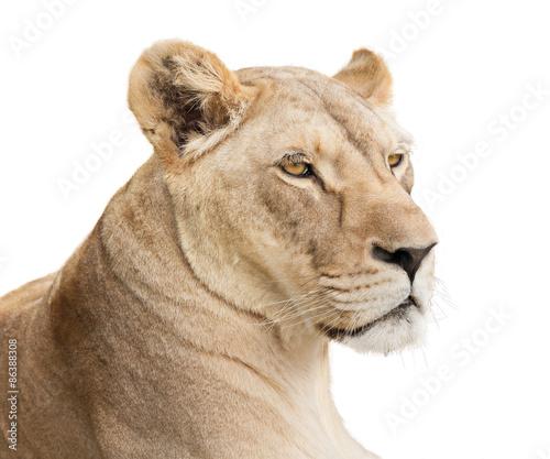 Fotobehang Leeuw Lioness face