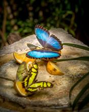Prepona Butterfly Feeding On Fruits