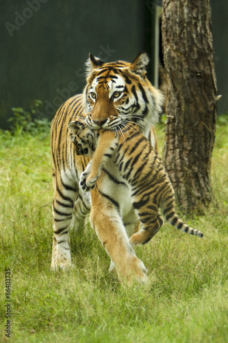Canvas Prints Tiger Tijger moeder met jong