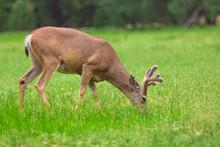 Deer Eating Grass On Green Meadow.