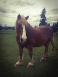Koń Belgijski