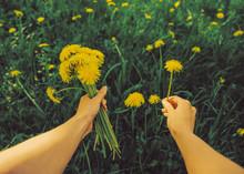 POV Image Of Picking Dandelions