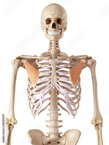Fotografie, Tablou  medical accurate illustration of the pectoralis minor
