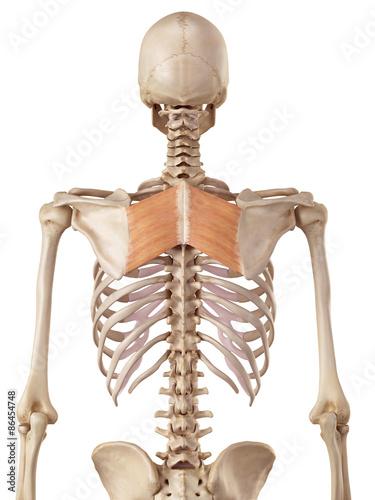 Fotografie, Obraz medical accurate illustration of the rhomboid major