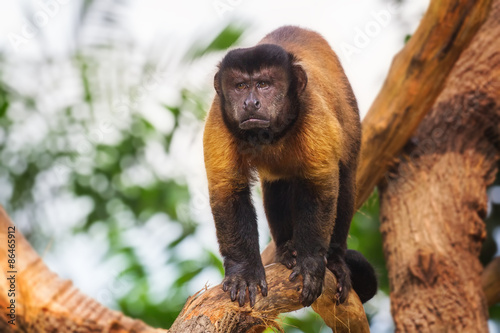 Brown capuchin monkey among the trees. Tablou Canvas