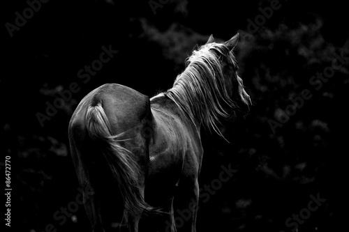 Foto auf AluDibond Pferde モノクロの馬
